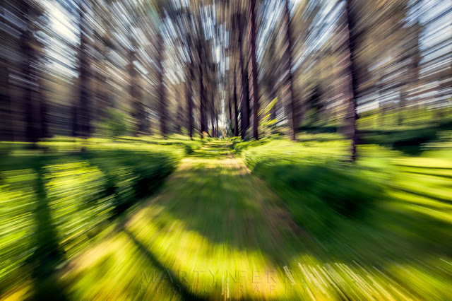 Lynford Arboretum lens movement with pine trees in a blue at Thetford Forest