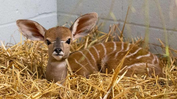 Como Zoo & Conservatory Celebrates The Birth Of A Baby Lesser Kudu