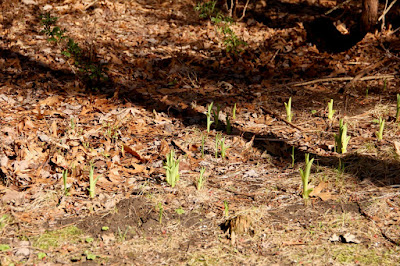 day lilies emerging, unidentified leafed-out stems in background
