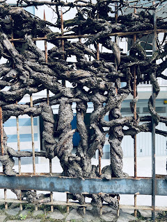 On a fence near the stadium a once hardy ivy's remains, intricately woven into a metal fence.
