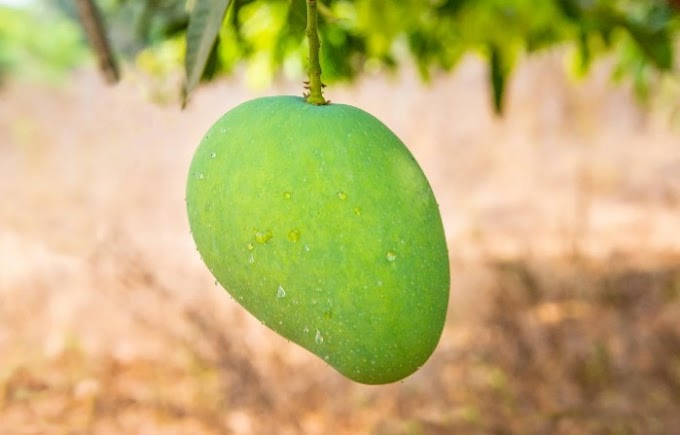 Mango Nutritional Value And Benefits
