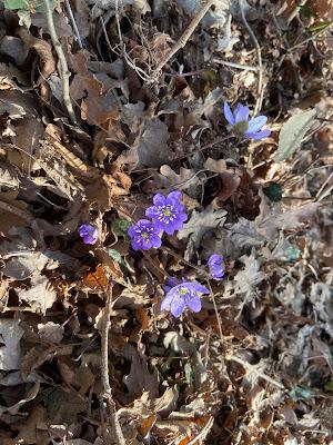 [Ranunculaceae] Hepatica nobilis {Erba trinità}