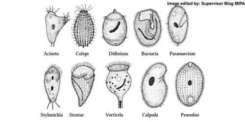 Protozoa (protista mirip hewan), Kelas Ciliata (Filum Ciliophora/ Infusoria)
