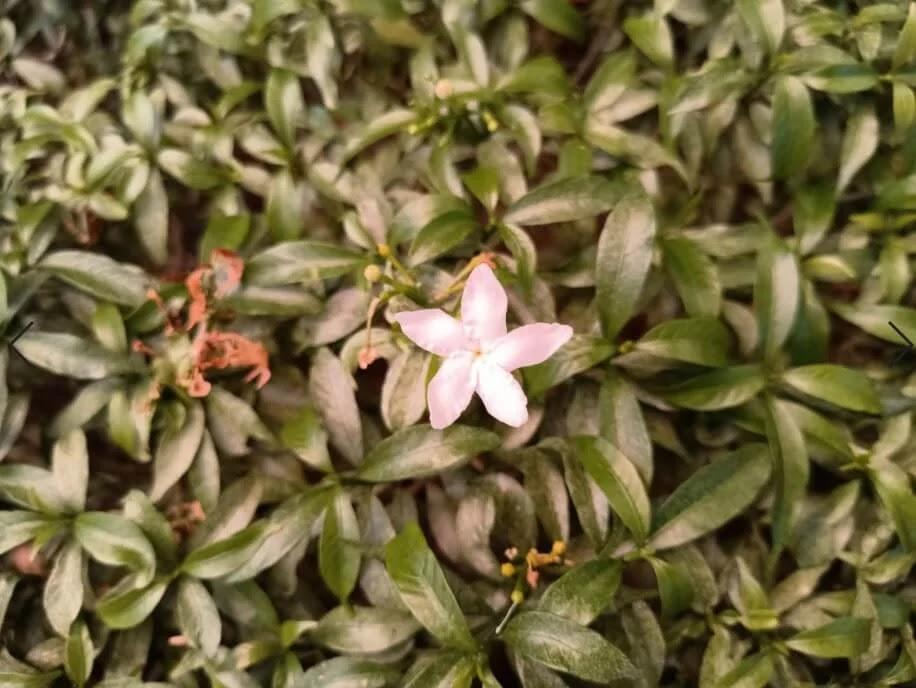 OPPO Reno3 Pro Camera Sample - Flower, Macro