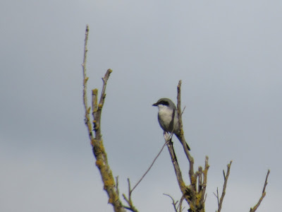 loggerhead shrike california