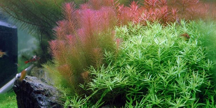 Cây chỉ đỏ nổi bật trong hồ thủy sinh