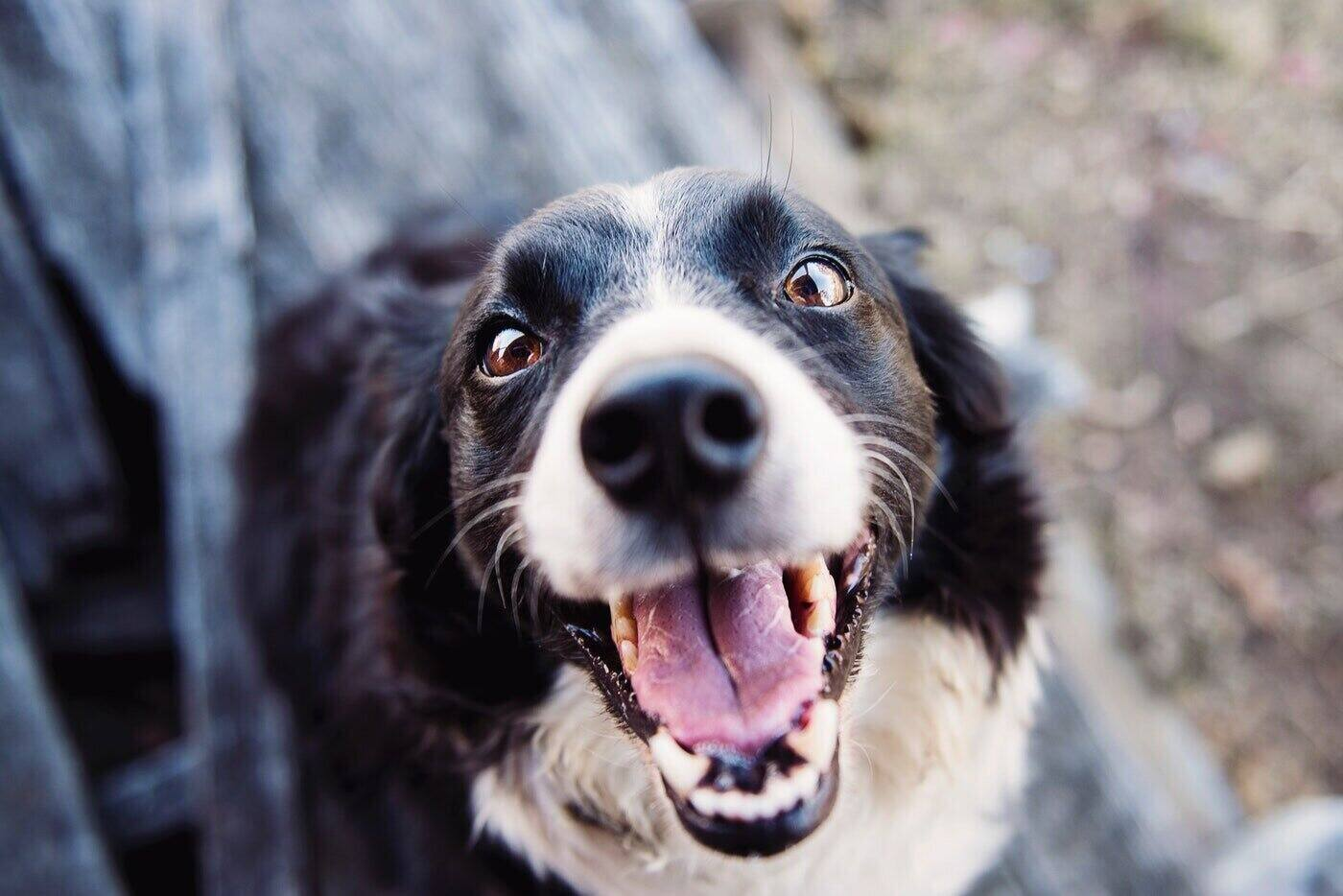 close-up of border collie face - how to choose the right dog breed for your family farm