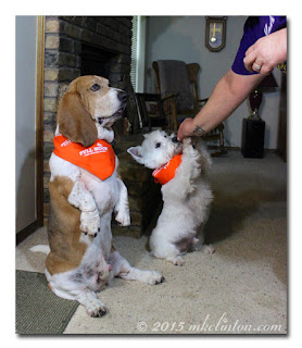 Basset and Westie sitting up for treat
