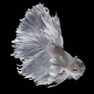gambar wallpaper ikan cupang