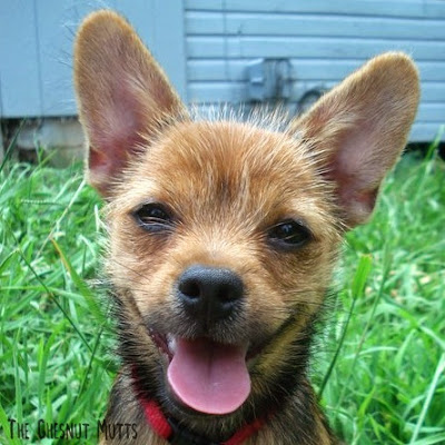 Jada the Chesnut Mutt baby photo