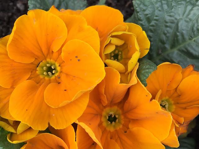 Primel orange