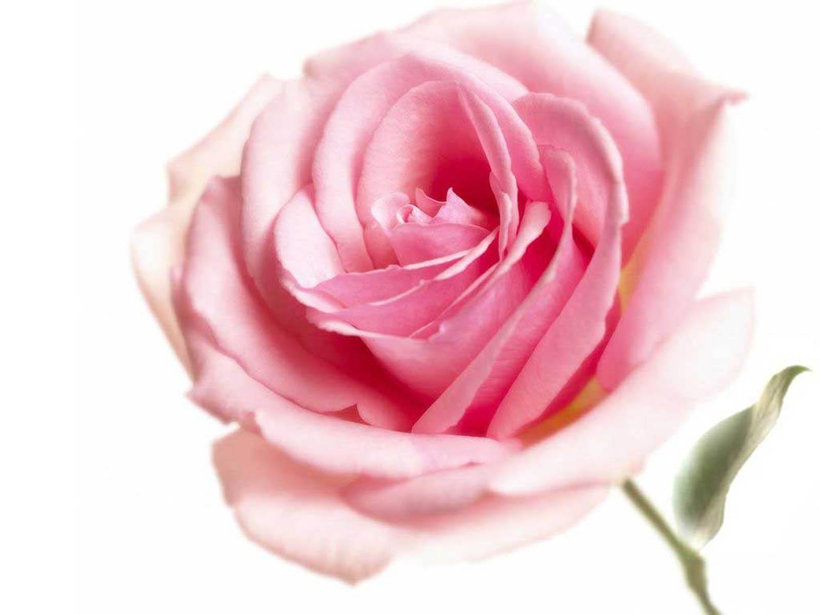 Pink Rose Wallpapers ~ Desktop Wallpaper