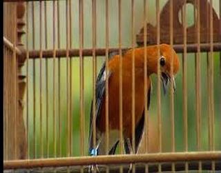 Rahasia Sukses Memelihara Burung Anis Merah
