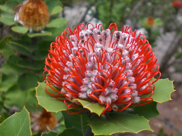 Green leaves and scarlet flower of Banksia coccinea
