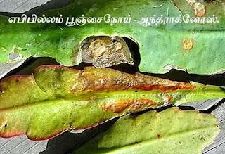 Epiphyllum Plant Anthracnose