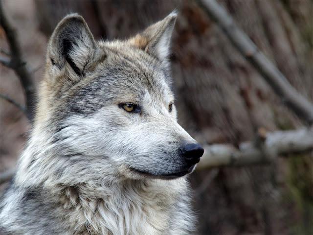 29 Fakta Menarik Tentang Serigala