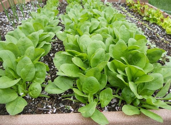 Cách trồng cải bó xôi & trồng cải bó xôi trong thùng xốp