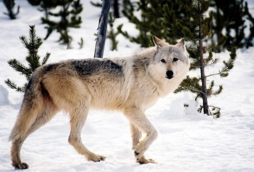 Wolf, Wildlife, Gray Wolf,