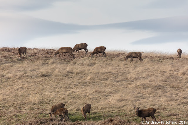 Antlers still present in the herd with some younger males.