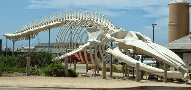 Baleia azul - esqueleto