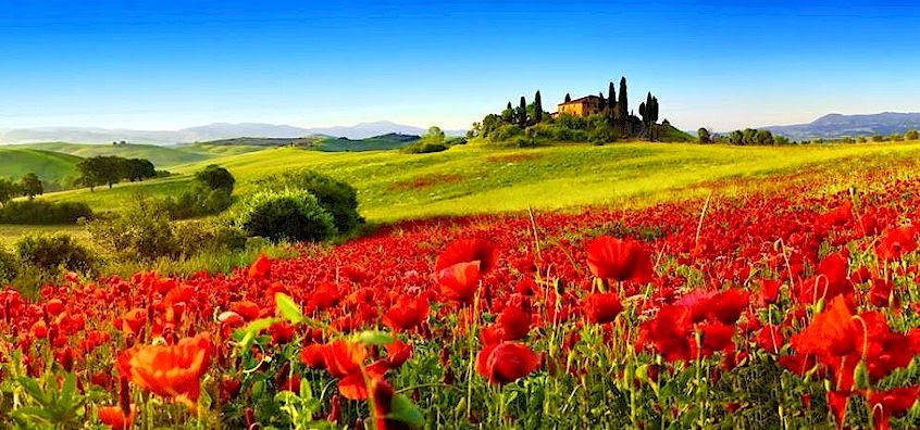 Poppies in the Val d'Orcia of Tuscany