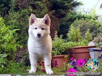 Cachorro Can de Palleiro junto a flores