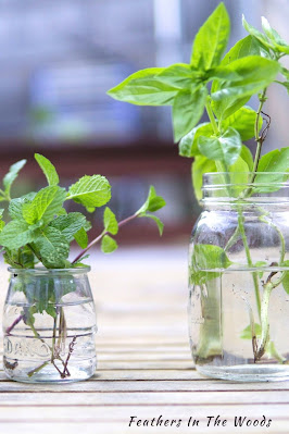 Herb cuttings growing roots in a glass of water