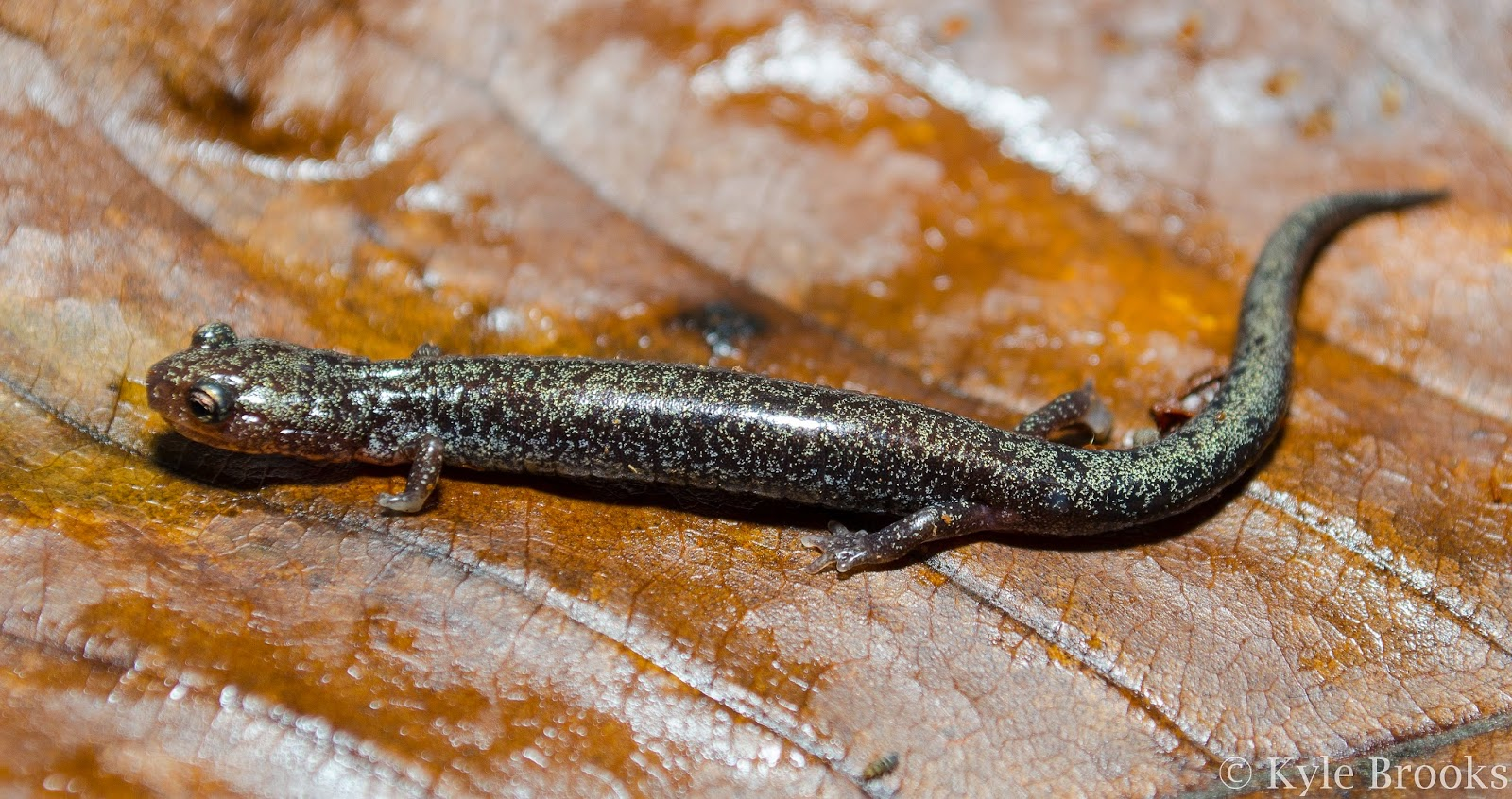 Iridistic Red-Backed Salamander