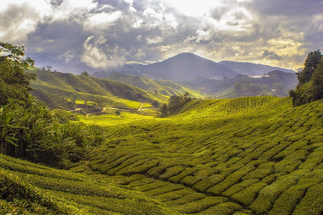Top10 largest Agriculture Producing India Tea