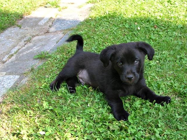 piesek, trawa, zwierzę, czarny