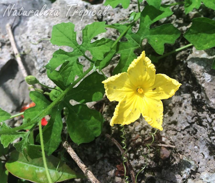 Flor típica de la planta Cundeamor o Melón Amargo, Momordica charantia