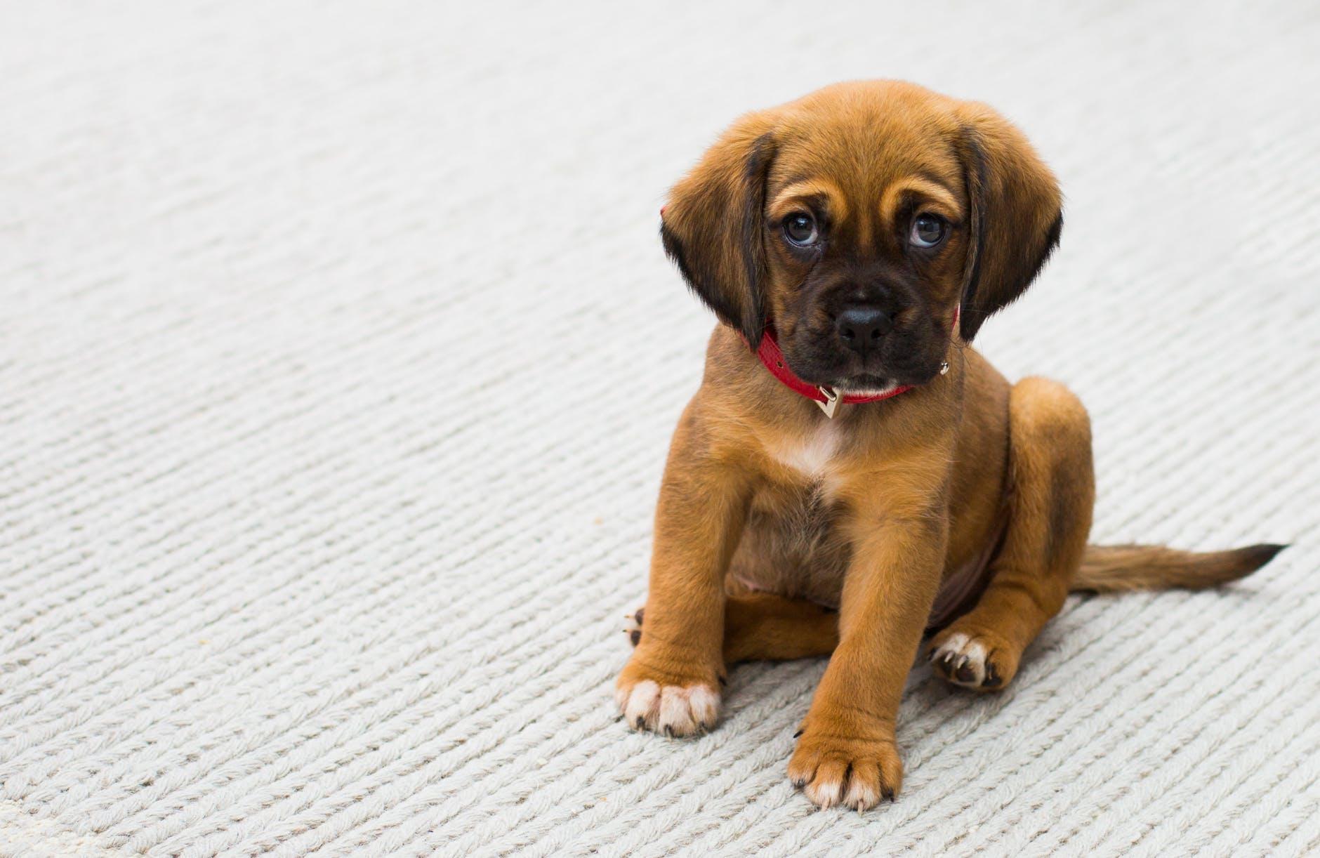 Que dois-je faire si mon chien a la diarrhée?
