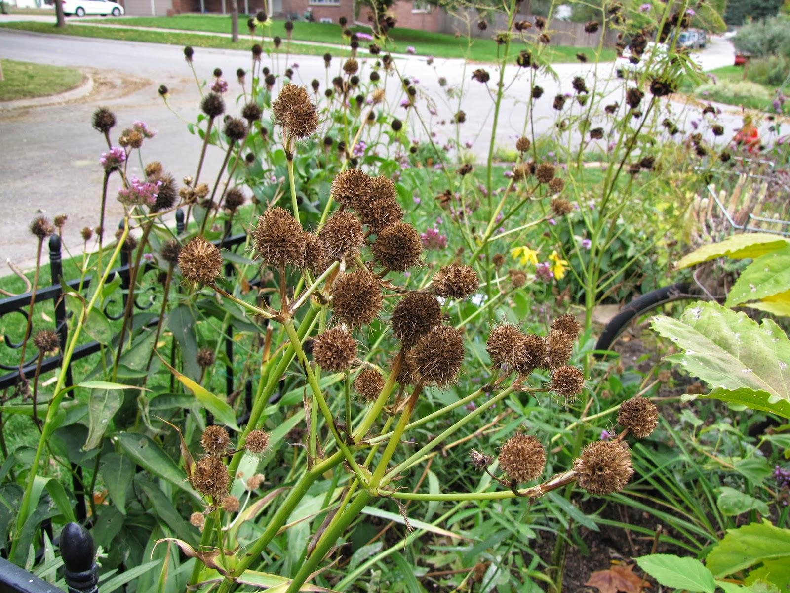 A Corner Garden Taking Liberties With Wildflower Wednesday