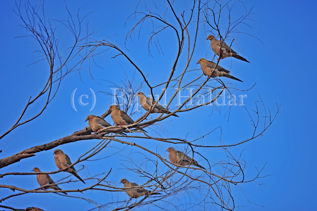 A Flock of Morning Dove