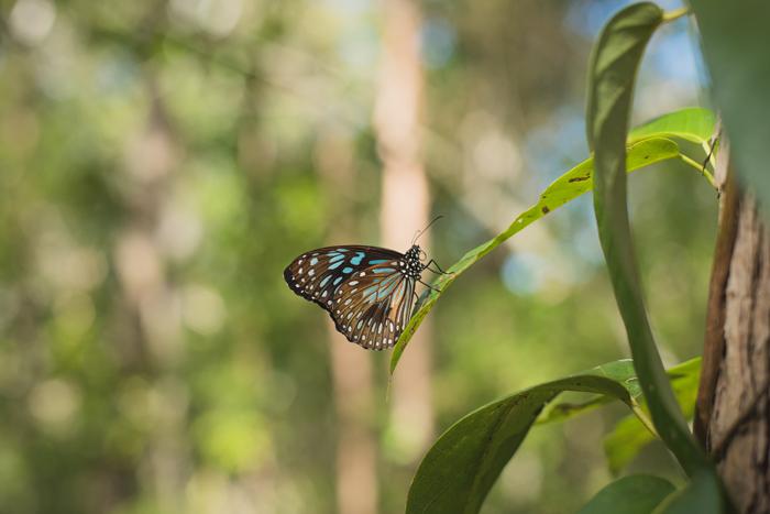 blue black se qld butterfly