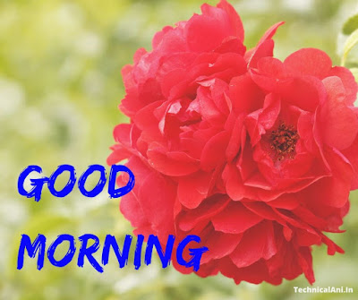 red roses good morning