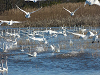 Tundra Swans – Mattamuskeet Refuge, NC – Sept. 2015 – photo by Allie Stewart, USFWS