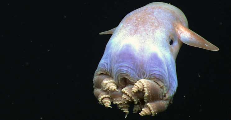 Dumbo ahtapotu diğer ahtapotlardan farklı görünür ve etçil bir canlıdır.