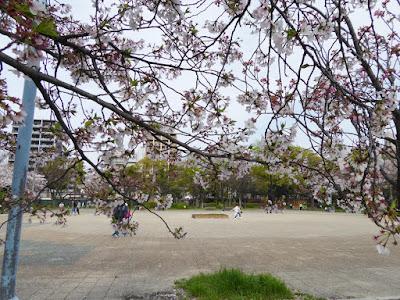 桜之宮公園の桜並木 広場