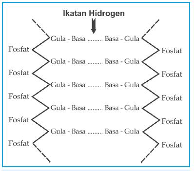 Dna plengdut diagram ikatan hidrogen ccuart Images