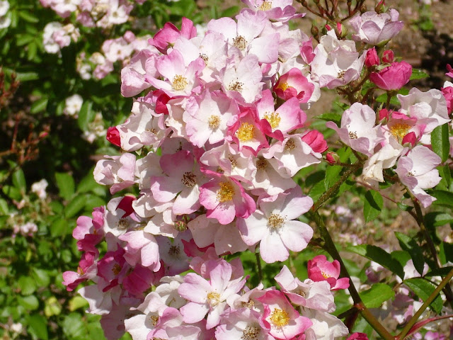 Best pink shruby roses to buy that flower all summer Ballerina