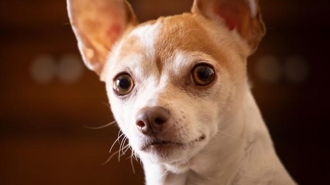 Papel de Parede Celular Chihuahua Fofinho