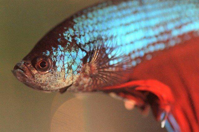 Ikan Cupang Kalian Mati Tiba-Tiba ? Ini Penyebabnya
