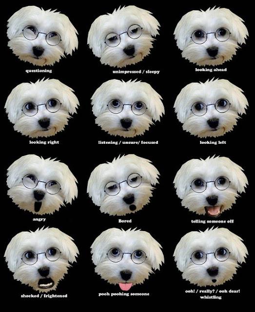 perro maltes expresiones
