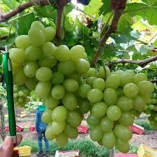 grapes sell