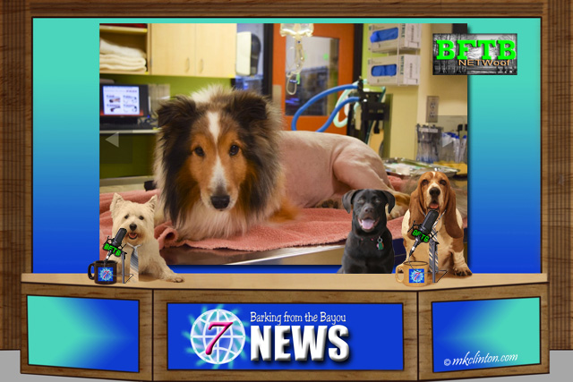 BFTB NETWoof News with shaved Shetland sheepdog on back screen