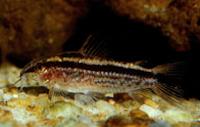 Jenis Ikan Corydoras gracilis