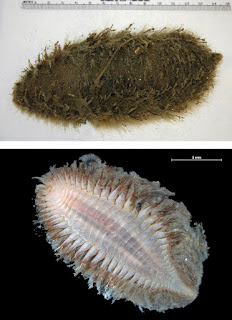 Two views of a sea mouse. One from above, shows the body covered in what looks like fur. The other shows the fleshy, segmented underside.
