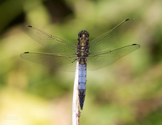 Dragonfly, Odanata
