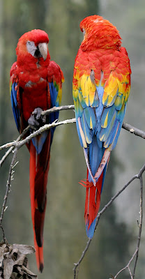 scarlet macaw front and back